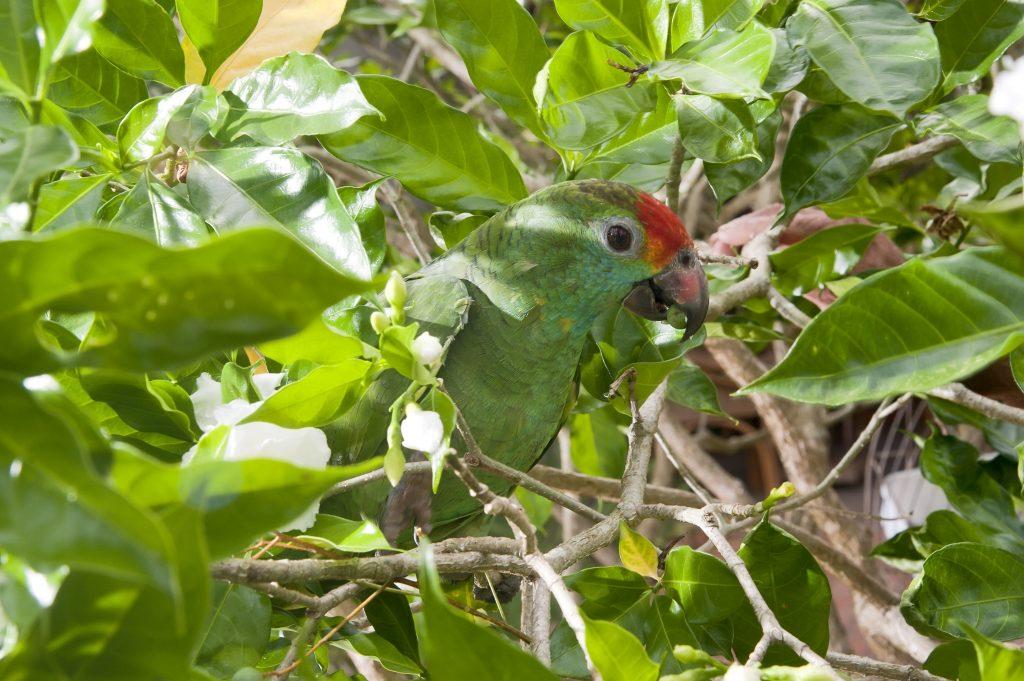Papagaio Chauá, outra espécie ameaçada de extinção, hoje encontra  refúgio seguro na fazenda que foi reflorestada. Foto Leonardo Merçon