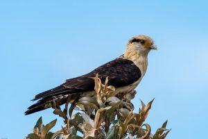 O imponente Gavião-carrapateiro é outra ave que atrai as lentes dos visitantes da Serra da Canastra