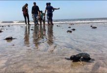 Tartarugas ressurgiram na praia de Versova após décadas