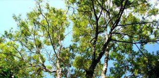 A árvore pau-jacaré, nativa do Brasil, pode ser encontrada em qualquer beira de estrada nas regiões de Mata Atlântica