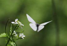 A borboleta que traz bons augúrios