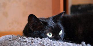 O gato arranha o sofá por inúmeros motivos