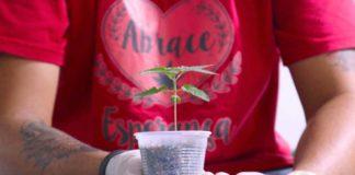 Pesquisa que vai estudar a cannabis medicinal será feita pela UFV em parceria com a Abrace Esperança, de João Pessoa (PB). Fotos - Abrace - Divulgação