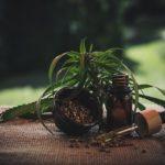 Anvisa aprova regulamentação da maconha para uso medicinal. Foto - Pixabay