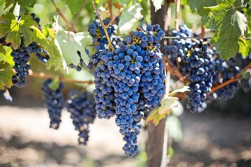 Concentração de resveratrol, que é encontrado no vinho, será 70% maior em novo suco de uva.