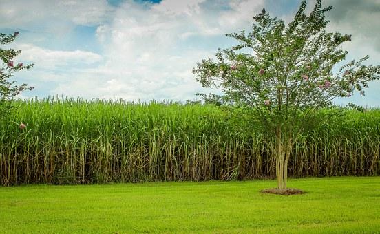 O caldo da cana é usado, junto com outros ingredientes, para produzir defensivo orgânico no Norte de Minas