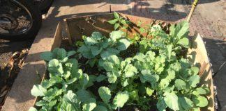 A horta que o lavador de carro plantou em 1 m² tem couve, alface, cebolinha, pimentão, salsa e tomate. Foto - Boas Novas