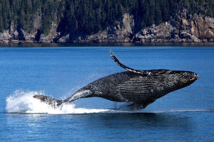 População de baleias Jubarte, antes ameaçadas de extinção, volta a crescer em todo o mundo. Foto - Pixabay
