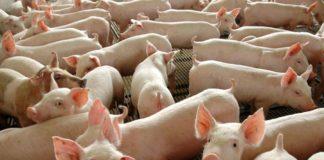 Órgãos de porco modificados geneticamente são esperança para milhares de pacientes que precisam passar por um transplante. Foto - Agência Brasil