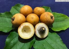 O fruto do juazeiro pode servir de alimento para o gado e para fazer geléia