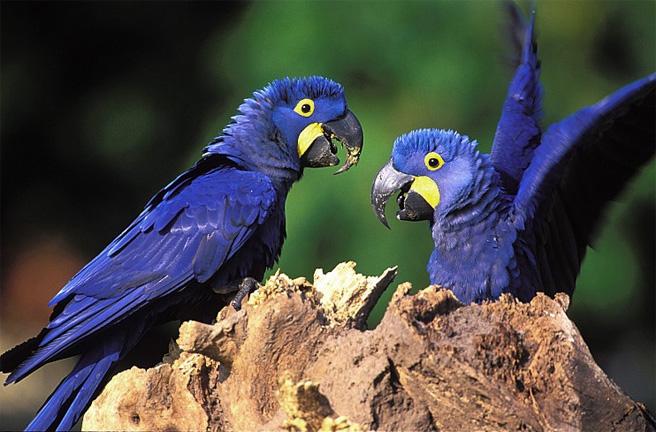 Araras-azuis, ave vulnerável à extinção, conseguiram sobrevir ao foto. Foto - Instituto Arara-Azul
