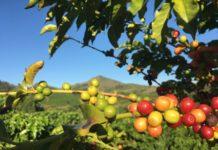 Ácido gálico, presente em frutos como café, pequi e uva, pode ajudar no combate à obesidade e doenças metabólicas associadas, como diabetes. Foto Vandelino Dias Júnior - Pixabay