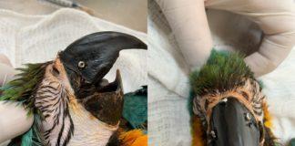 Arara-canindé perdeu o bico após um atropelamento, mas recebeu um novo em Campos Grande (MS). Foto - Imasul/Divulgação