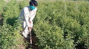 Paquistanês usa máscara no plantio de árvores, para se proteger da Covid-19