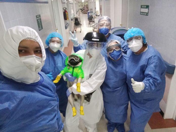 Harley, um cão da raça pug, tem ajudado a aliviar estresse de profissionais de saúde em hospital do México. Fotos - Facebook