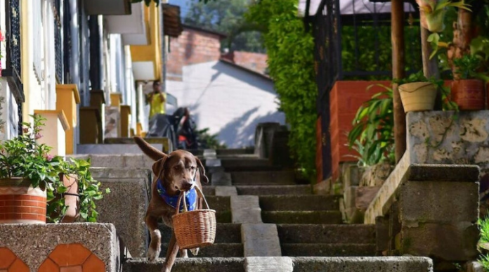 Eros, um cão labrador da cidade de Medelin, Colômbia, que
